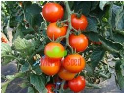 Pomidor Hardy F1
