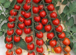 Pomidor Curranto F1 MoravoSeed