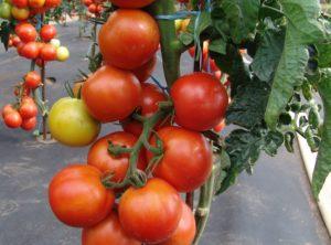 Pomidor Pedro MoravoSeed