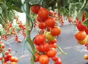 Pomidor Dafne F1 MoravoSeed